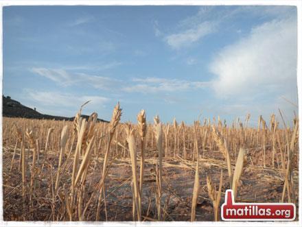 Cereal Sequia 2012