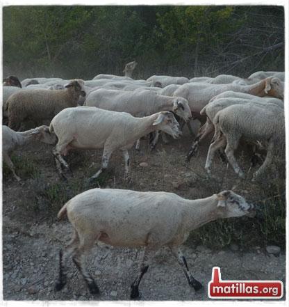 Pastureo