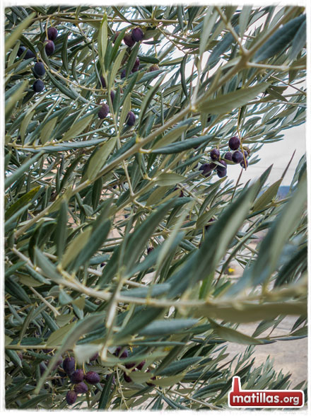 Tiempo de olivas